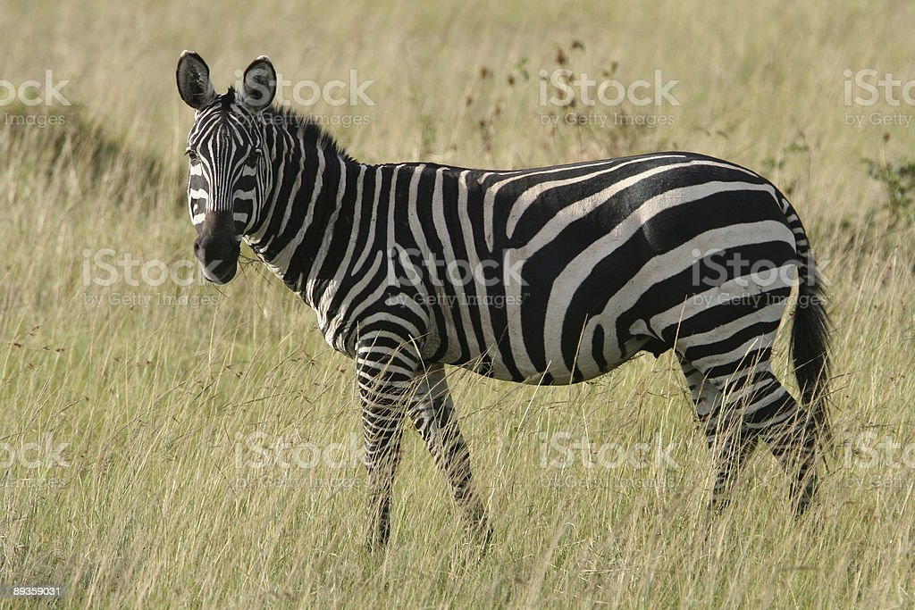 zebra royaltyfri bildbanksbilder