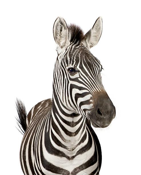 zebra - zebra stock photos and pictures