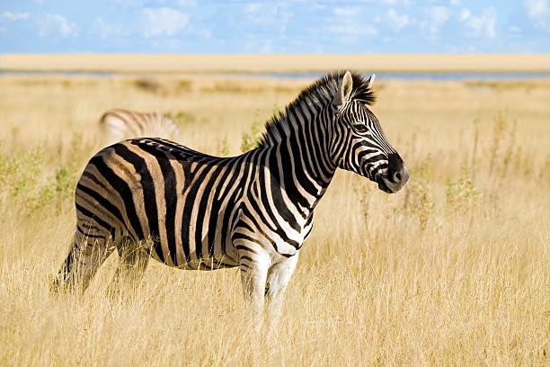 zebra - afrikanische steppe dürre stock-fotos und bilder