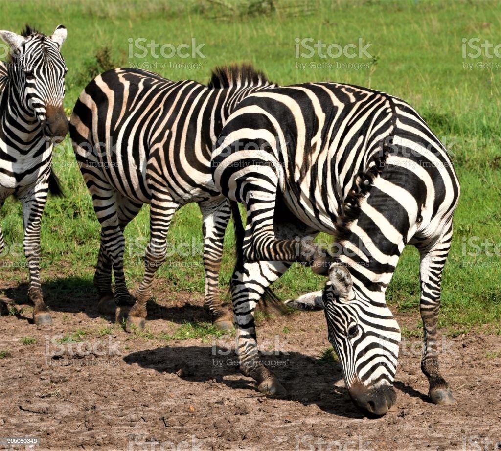 Zebra zbiór zdjęć royalty-free