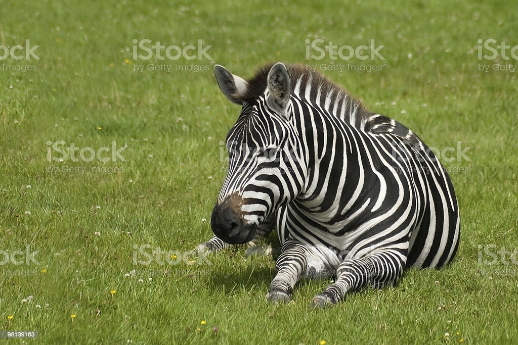 zebra royalty-free 스톡 사진