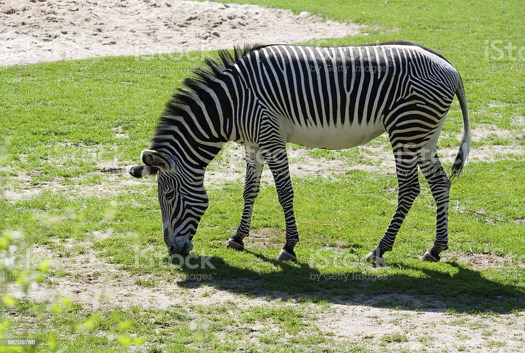 Zebra royalty-free 스톡 사진