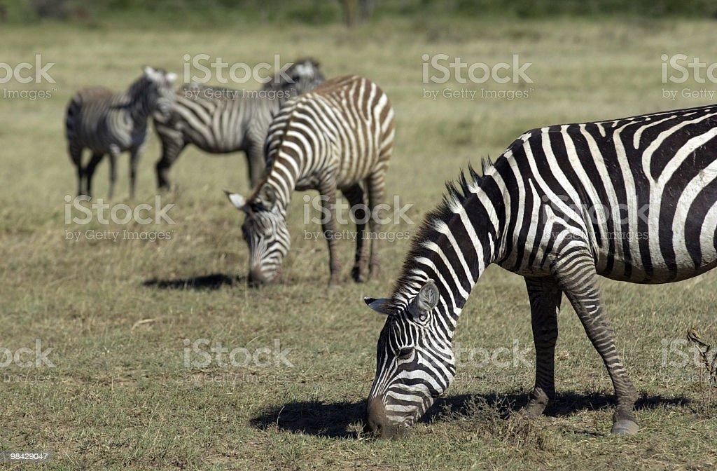 Zebra foto stock royalty-free