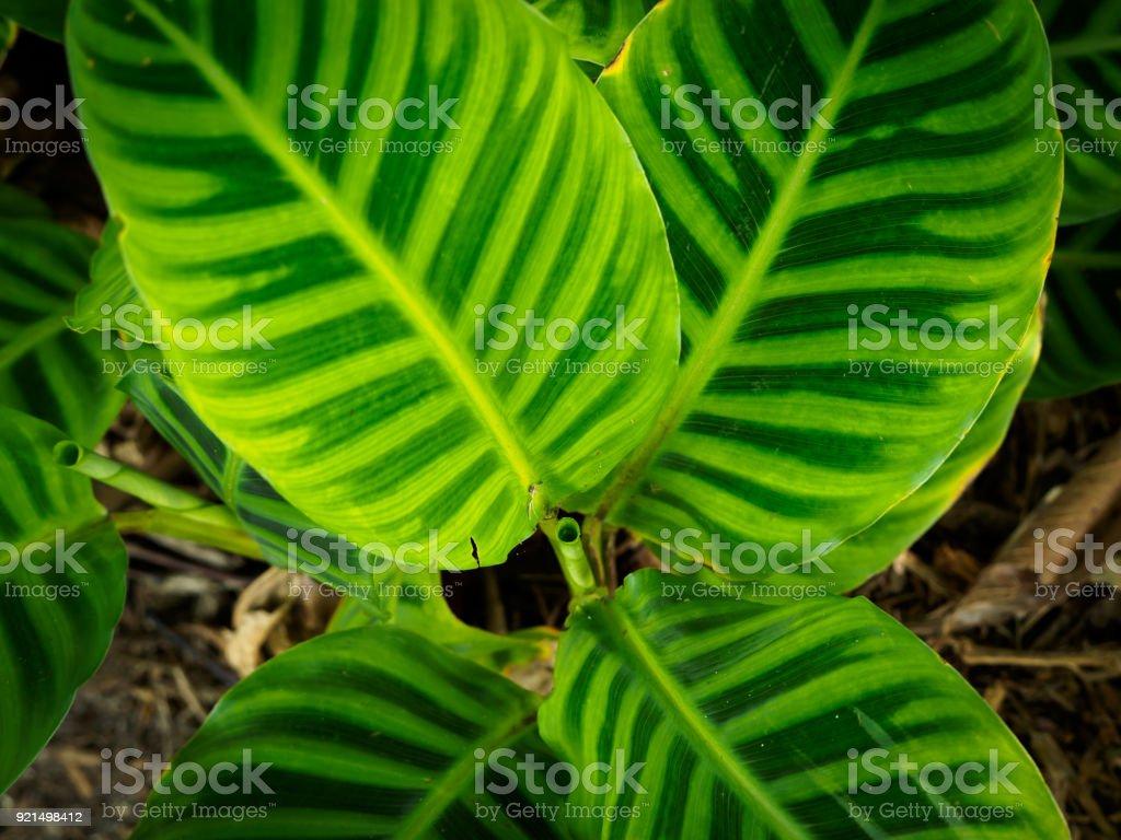 Zebra plant -  Calathea zebrina Zebra plant -  Calathea zebrina Botanical Garden Stock Photo