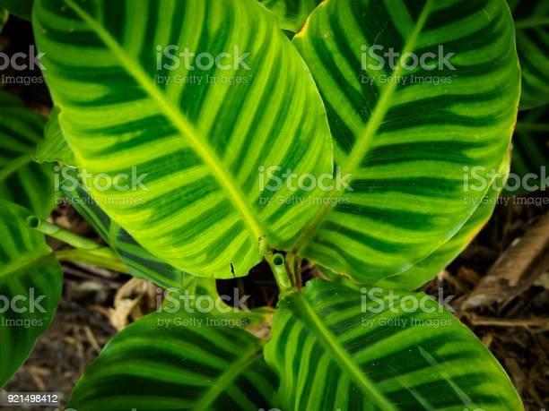 Zebra Plant Calathea Zebrina Stock Photo - Download Image Now