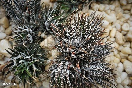 zebra plants growing among pebbles