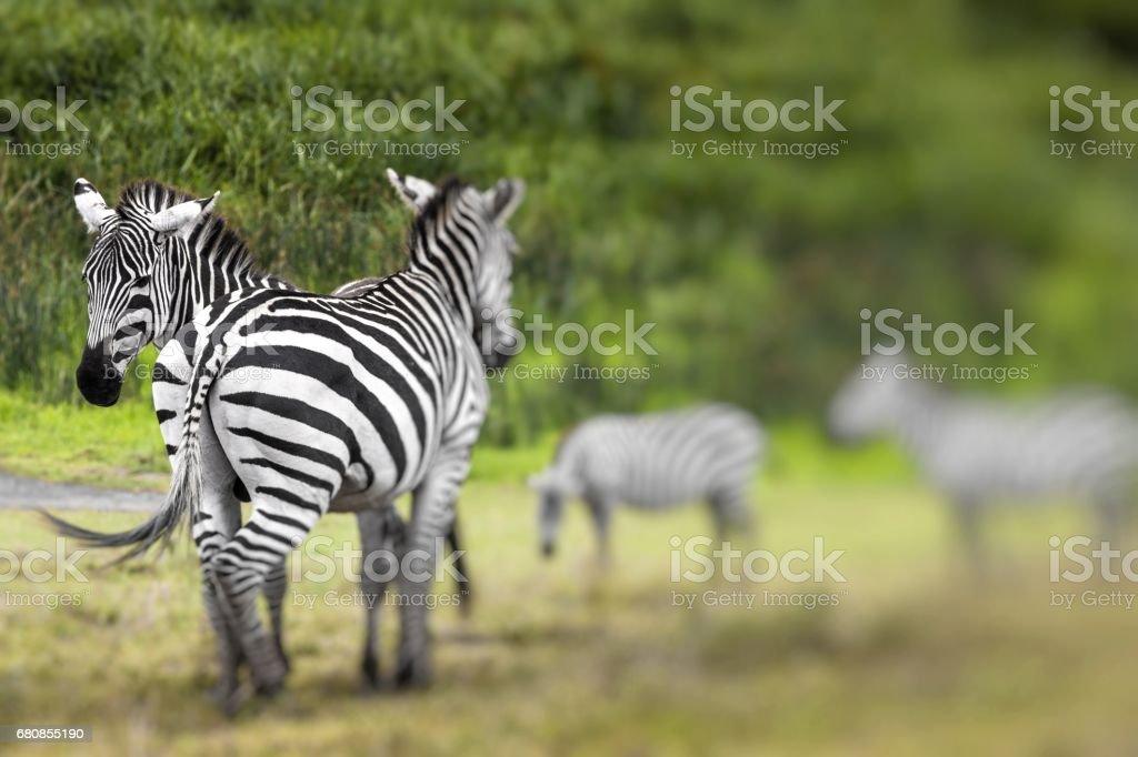 Zebra portrait on African savanna. Safari in Serengeti, Tanzania. Selective focus. royalty-free stock photo