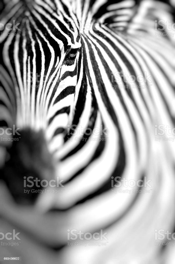 Zebra portrait on African savanna. Safari in Serengeti, Tanzania. Selective focus. stock photo
