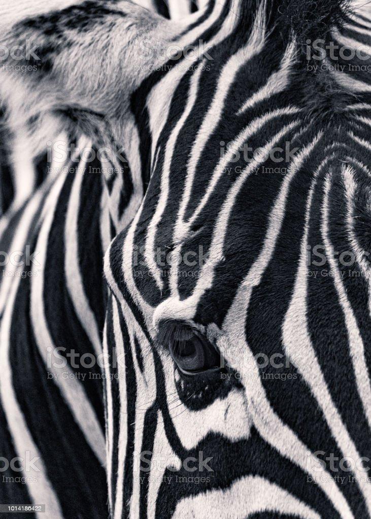 Retrato de cebra - foto de stock