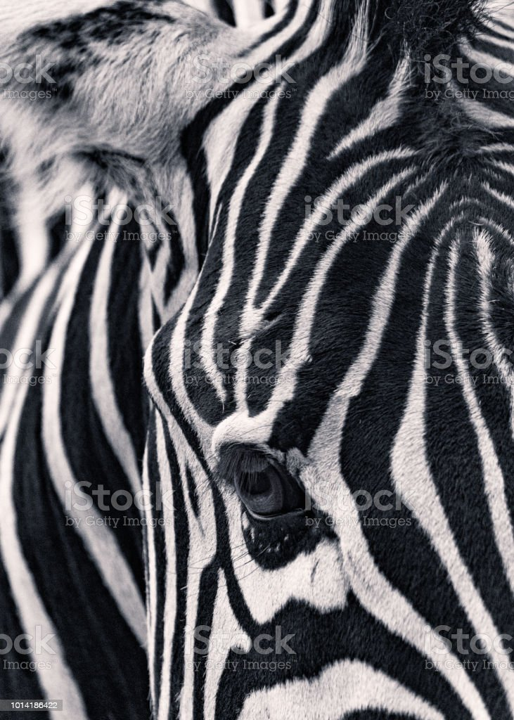 Zebra Porträt – Foto