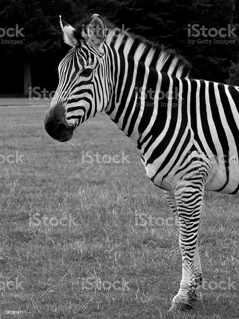 Zebra pose. royalty-free stock photo