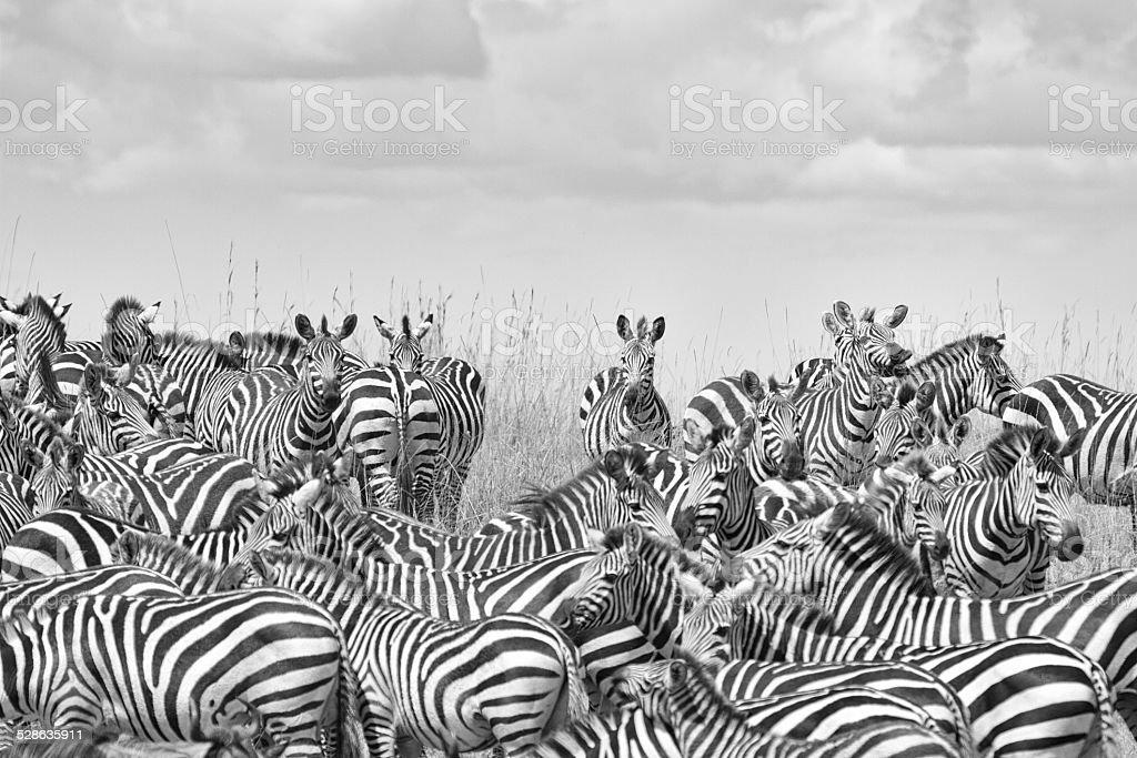 Zebra Posse stock photo