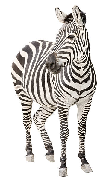 zebra pregnant front view looking - zebra stock photos and pictures
