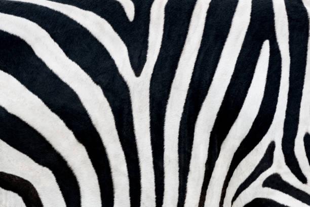 Zebra print stock photo
