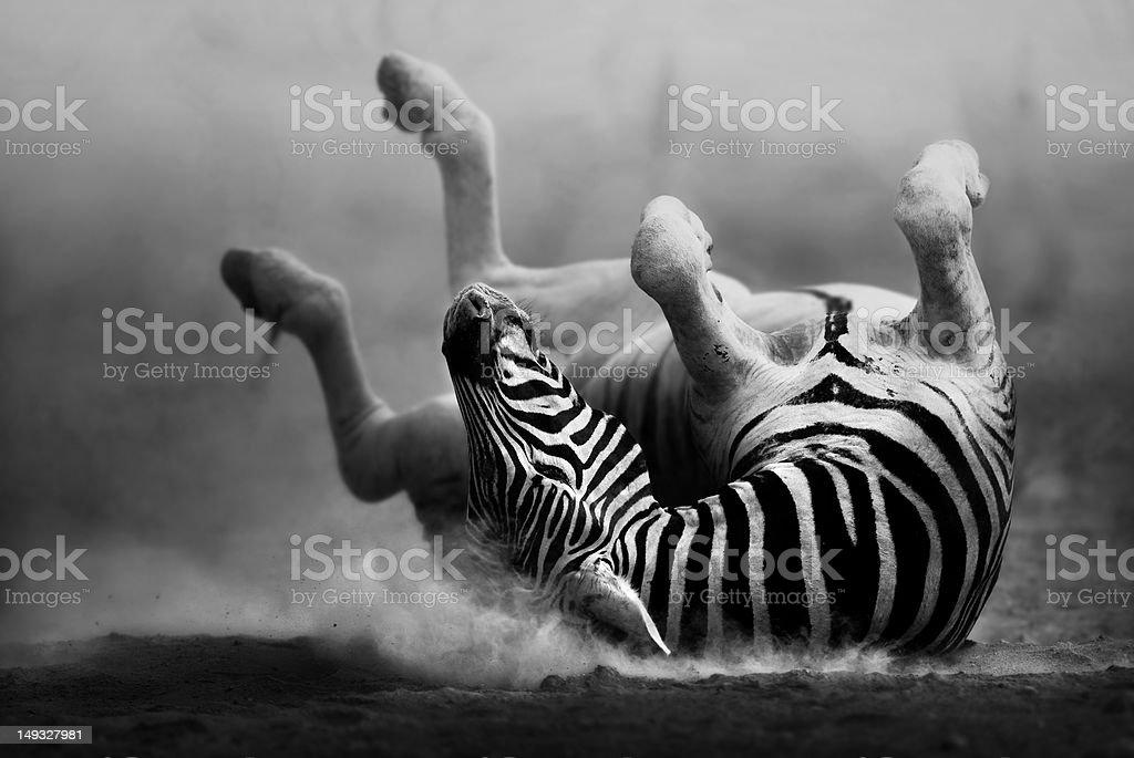 Zebra rolling in the dust stock photo