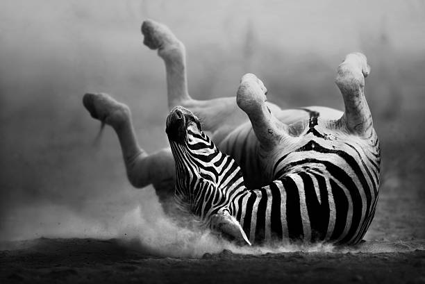 Zebra rolling in the dust stock photo