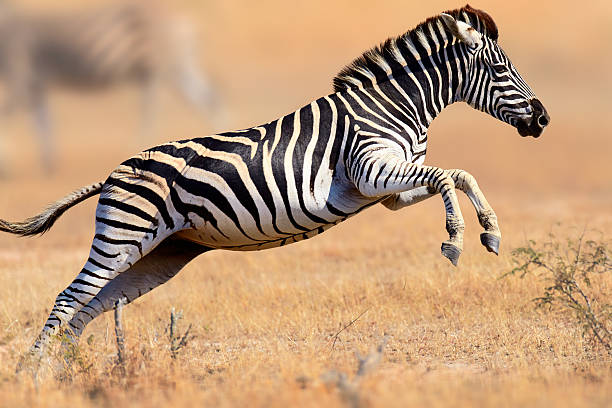 zebra running and jumping - zebra stock photos and pictures