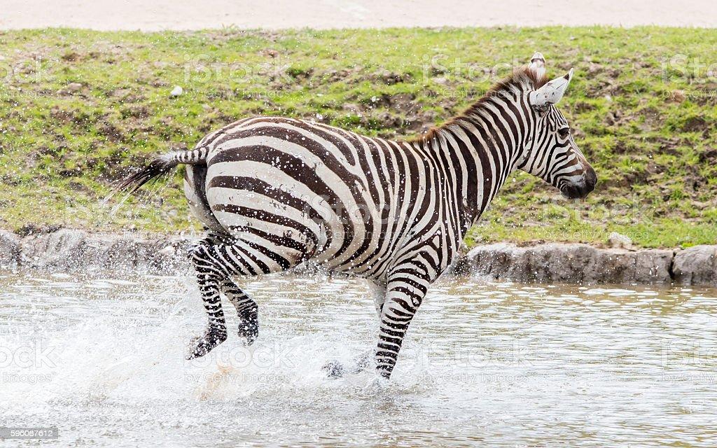 Zebra running through water royalty-free stock photo