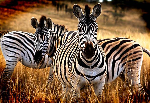 Cebra de Safari - foto de stock