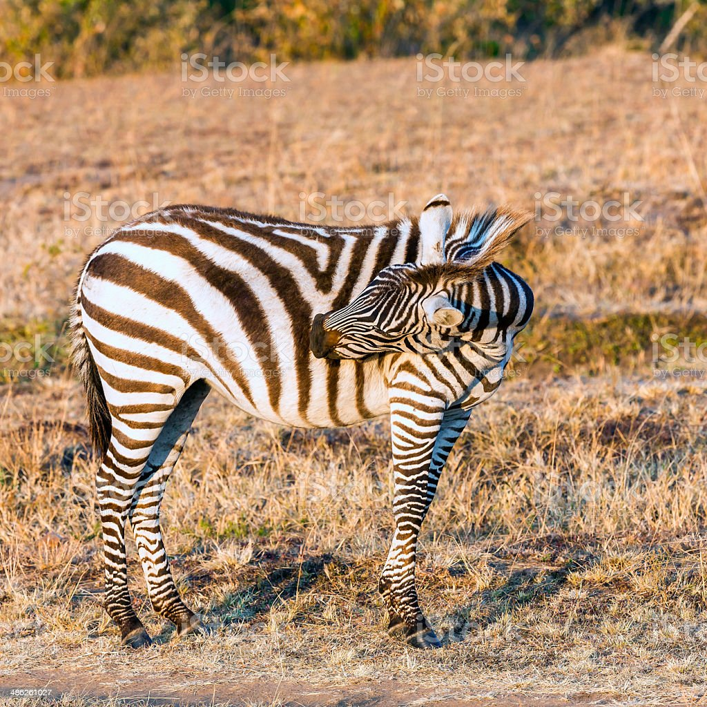 Zebra scratching royalty-free stock photo