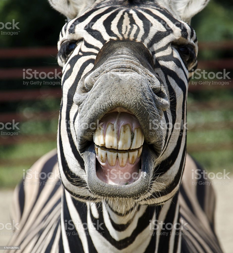 A zebra showing its teeth up close stock photo