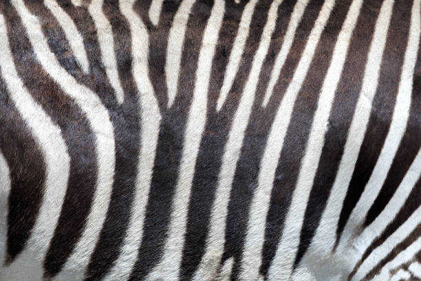 Zebra skin background. Zebra skin background. Closeup off the distinct pattern of an Imperial or Grevy's Zebra, which is indigenous to Kenya and Ethiopia and is an endangered species. cowhide stock pictures, royalty-free photos & images