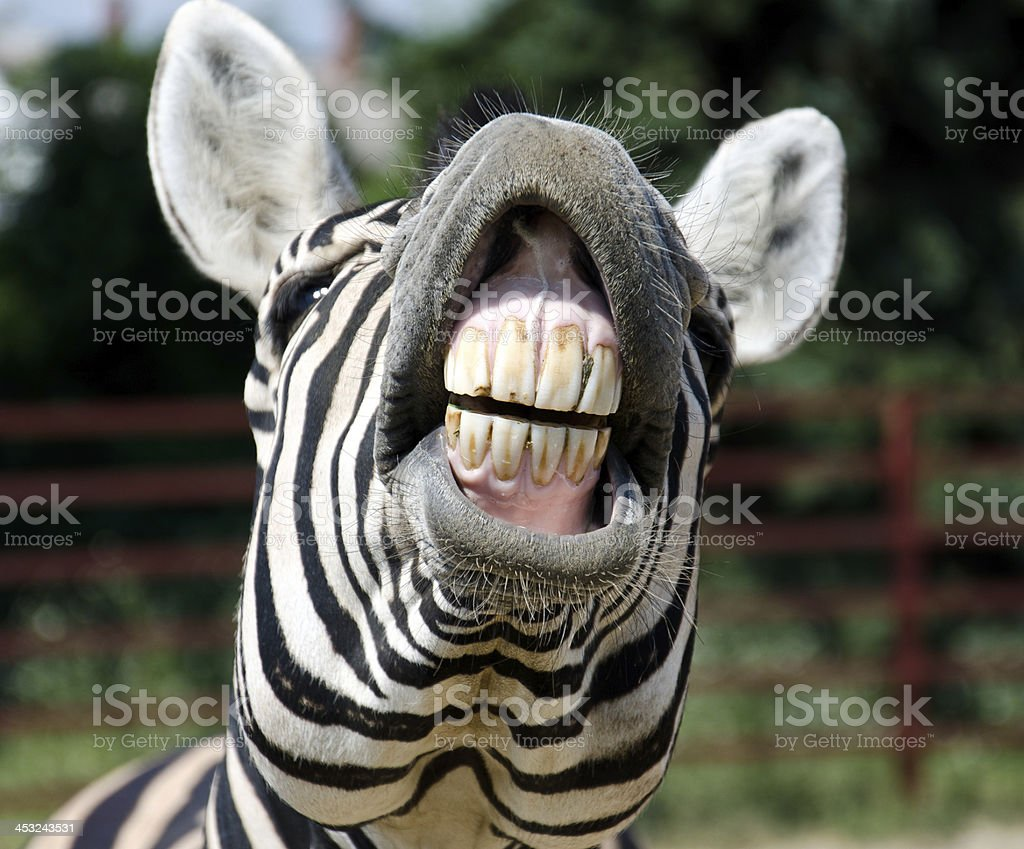 Zebra smile stock photo