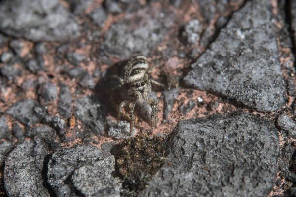 Zebra spider stock photo
