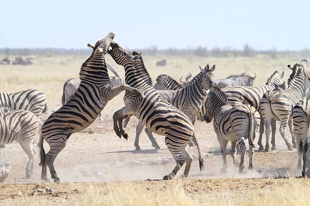Zebra stallion fight stock photo