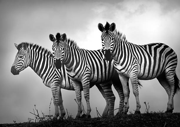 Zebra Stallions in black and white stock photo