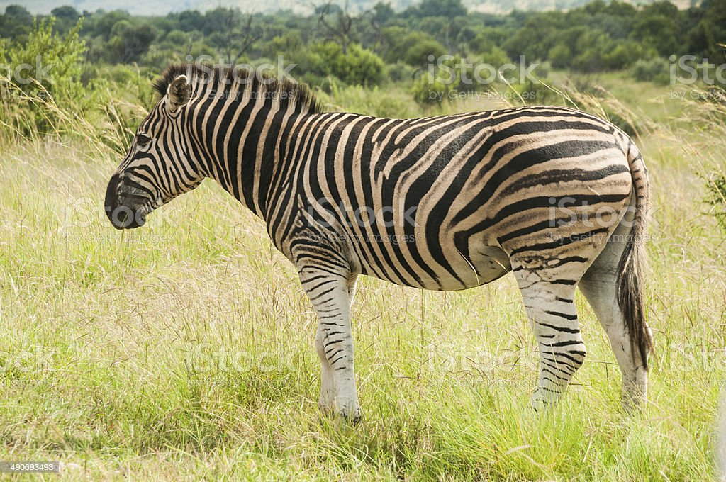Zebra standing in a green field royalty-free stock photo