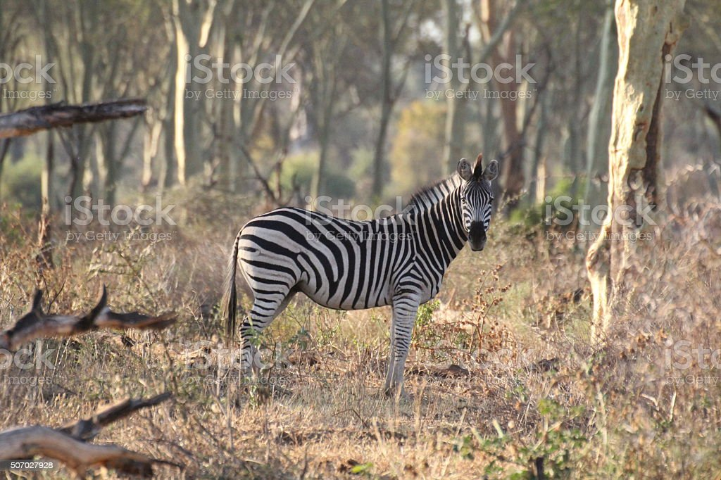 Zebra standing in the fever tree forest Pafuri stock photo