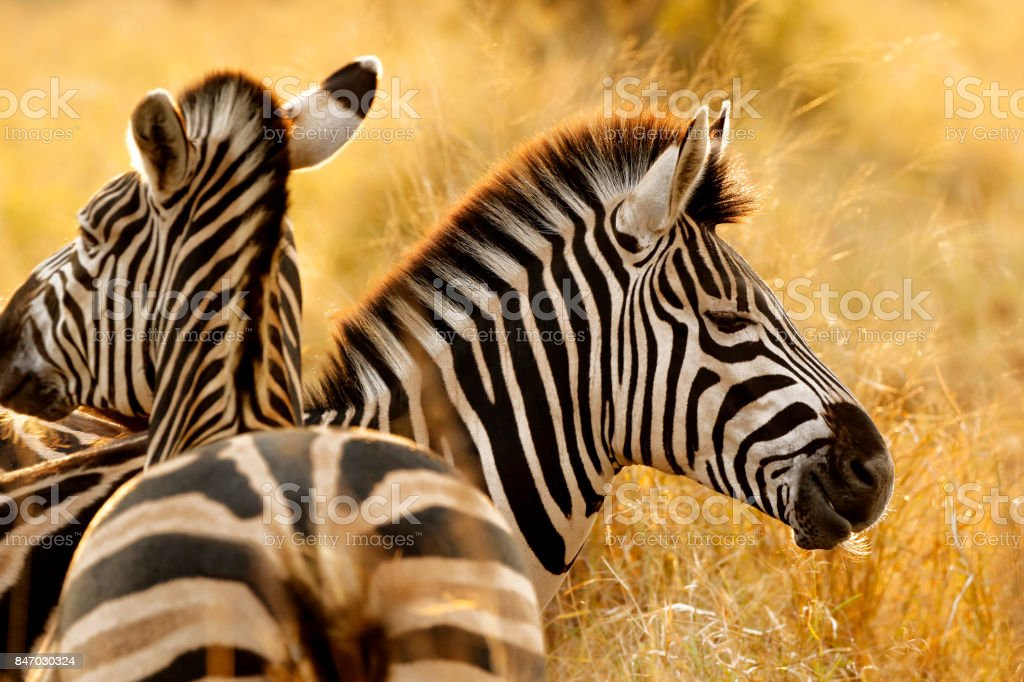 Zebra stripes African safari animals wildlife savanna burchells nature wilderness stock photo