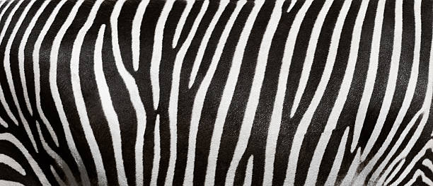 zebra stripes - animal markings stock photos and pictures