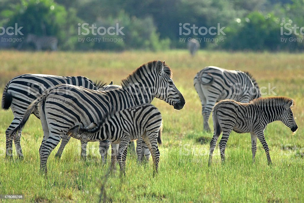Zebra suckling foal stock photo