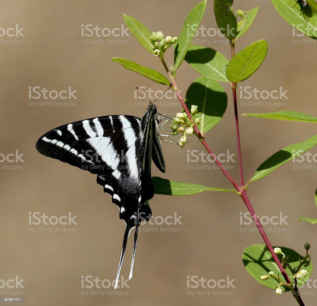 Zebra Swallowtail royalty-free stock photo