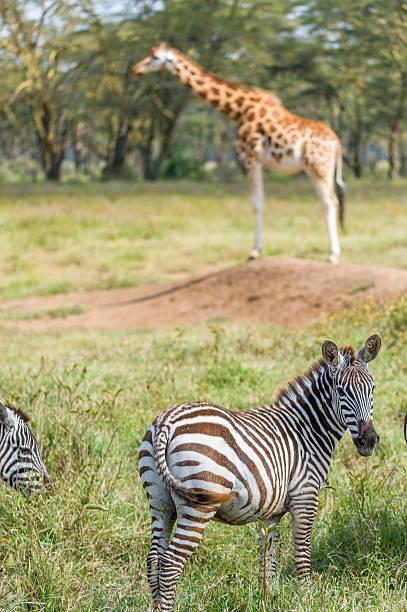 zebra und giraffe - zebra nägel stock-fotos und bilder