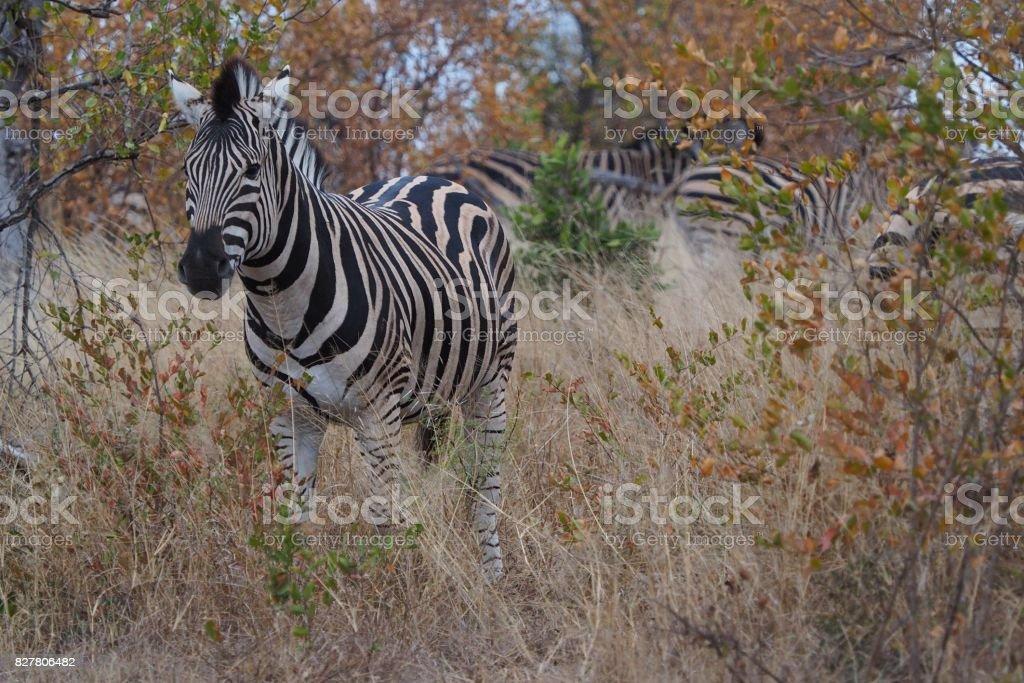 Zebra walking through the grass stock photo
