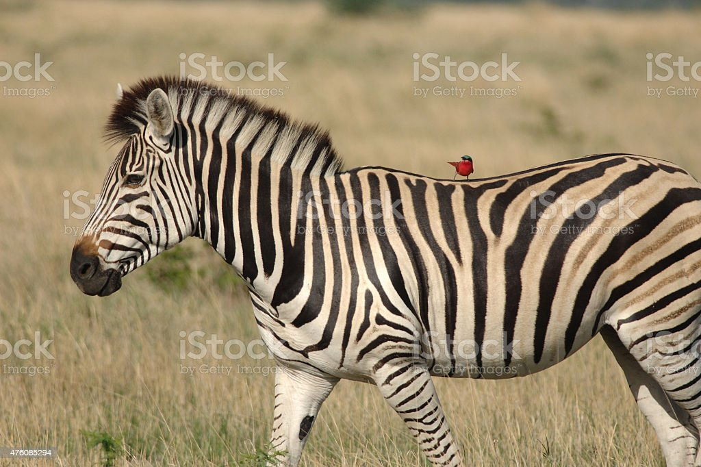 Zebra with Carmine Bee-eater jockey stock photo