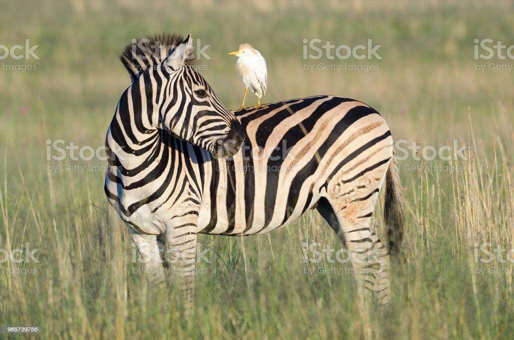 Zebra with egret on shoulder - Royalty-free Animal Body Part Stock Photo