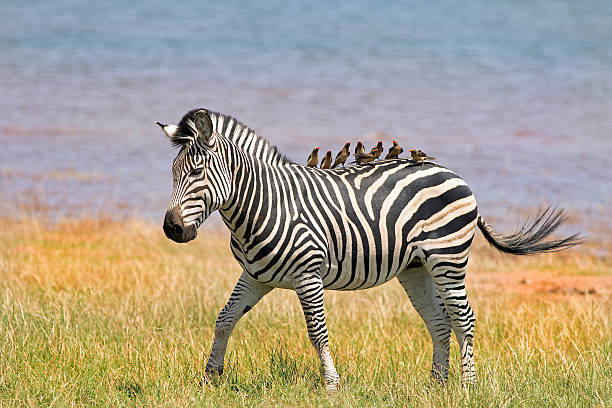 Zebra with eight oxpeckers on it's back – Foto