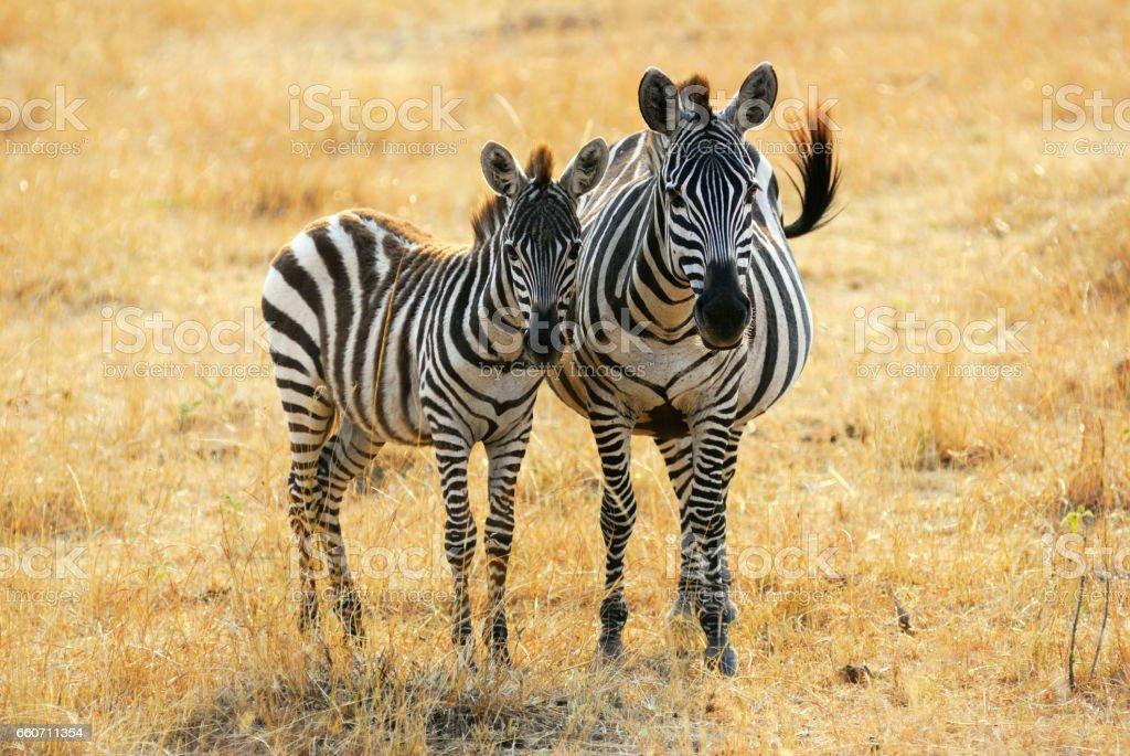 Zebra with foal stock photo