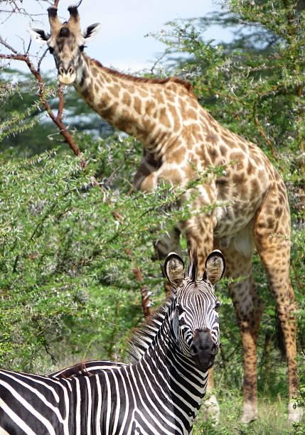 zebra con giraffa in backgrond - bassino foto e immagini stock