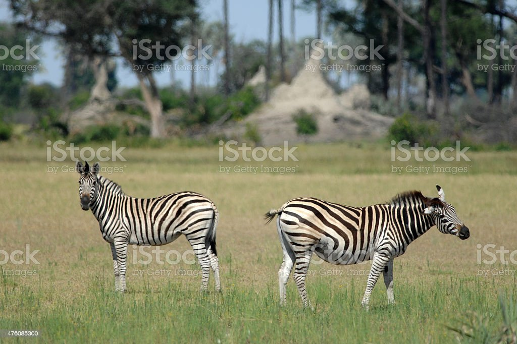 Zebra with no tail stock photo