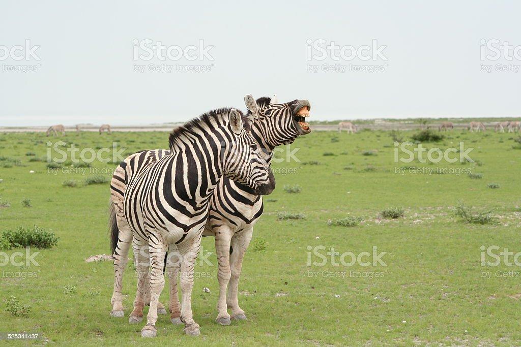 Zebra with open mouth, Grassland, Wet Season, Etosha, Namibia, Africa stock photo