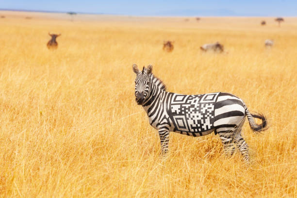 Zebra with QR code on the back concept in field stock photo