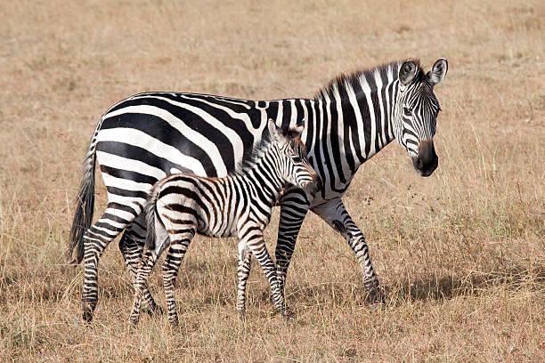 Zebra with young foal, Masai Mara National Park, Kenya stock photo
