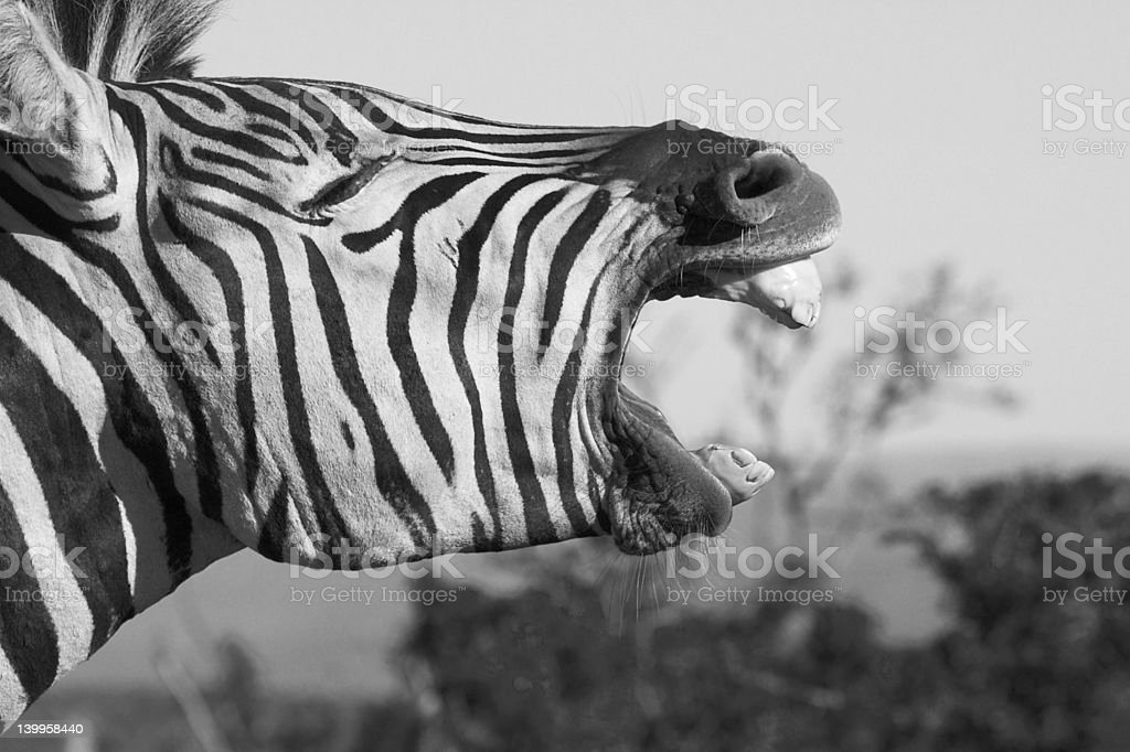 Zebra Yawn royalty-free stock photo