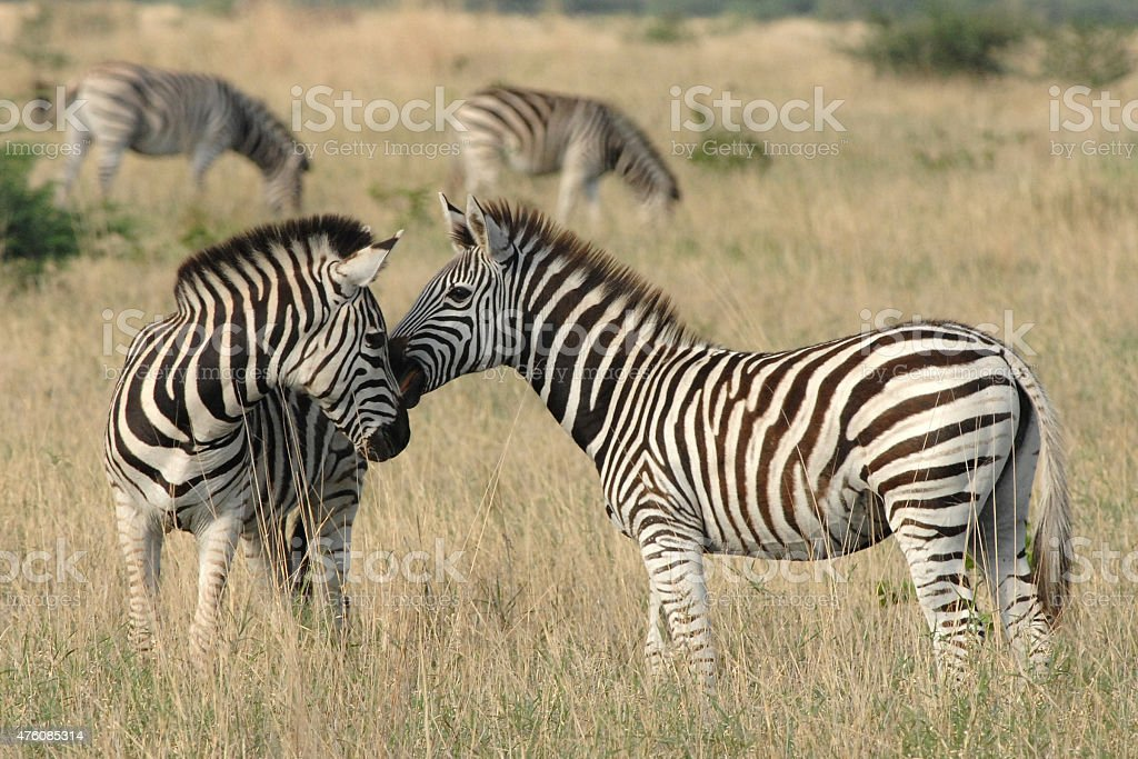 Zebra yearlings nuzzling stock photo