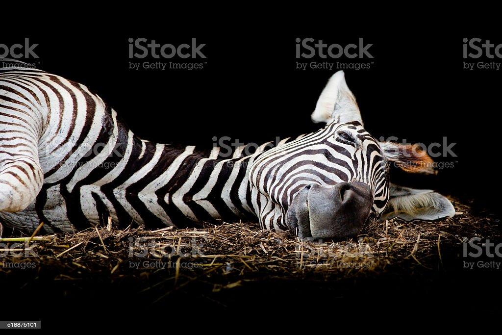 Zebra/African Zebra sleeping on field. stock photo